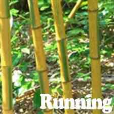 buy yellow groove bamboo from ty ty nursery