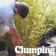 Bamboo Plants for Sale at the Lowest Prices at Ty Ty Nursery