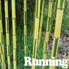 buy yellow green striped bamboo from ty ty nursery