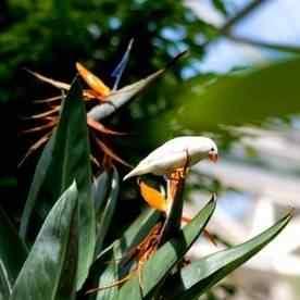buy bird of paradise from ty ty nursery