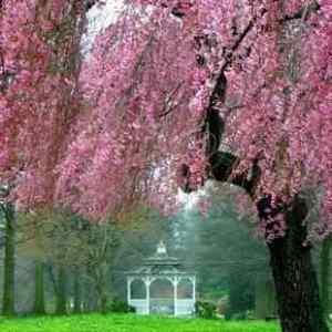 Buy Kwanzan Flowering Cherry Tree From Ty Ty Nursery