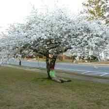 Buy Yoshino Flowering Cherry Tree From Ty Ty Nursery