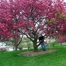 Buy flowering crabapple trees for sale at the lowest prices at ty ty pink brandywine flowering crabapple tree mightylinksfo