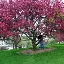 Buy Pink Brandywine Flowering Crabapple Tree From Ty Ty Nursery