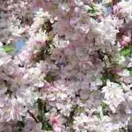 Buy pink perfection flowering crabapple tree from ty ty nursery pink perfection flowering crabapple tree mightylinksfo