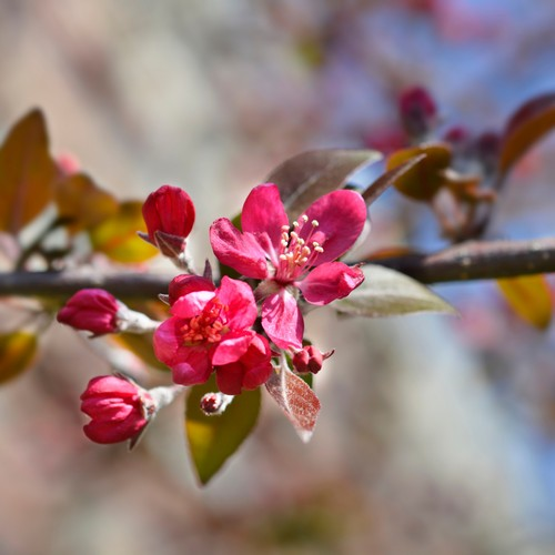 Buy Radiant Flowering Crabapple Tree From Ty Ty Nursery