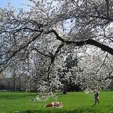 Buy spring snow flowering crabapple tree from ty ty nursery spring snow flowering crabapple tree mightylinksfo