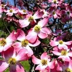 Buy Pink Dogwood Tree From Ty Ty Nursery