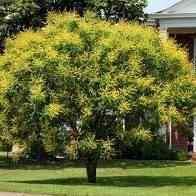 Buy Golden Rain Tree Golden Rain Trees Golden Rain Tree Sale