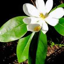 Southern Magnolia Trees For Sale At The Lowest Prices At Ty Ty Nursery