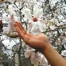Buy Leonard Messel Japanese Magnolia Tree From Ty Ty Nursery