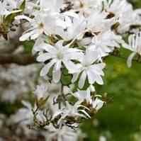 Buy Royal Star Japanese Magnolia Tree From Ty Ty Nursery