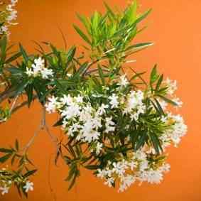 Buy white oleander from ty ty nursery white oleander mightylinksfo