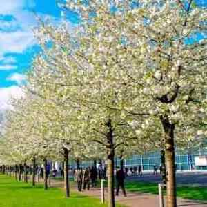 Buy Cleveland Select Flowering Pear Tree From Ty Ty Nursery