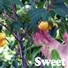 Buy Rainier Cherry Tree From Ty Ty Nursery