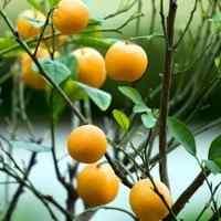 Marumi Kumquat Tree Kumquat Trees Free Kumquat Tree Video Low