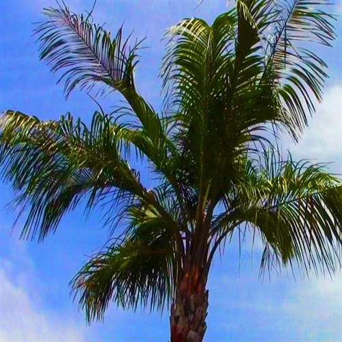 Buy mule palm from ty ty nursery alternative views voltagebd Images