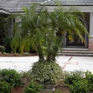 Buy Pygmy Date Palm From Ty Ty Nursery