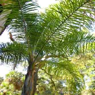 buy queen palm from ty ty nursery