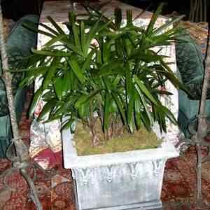 Buy Tropical Indoor Palm Trees for Sale at the Lowest Prices at Ty ...