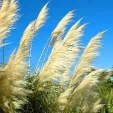 Cotton Candy Ornamental Grass Buy ornamental grass for sale at the lowest prices at ty ty nursery pampas grass workwithnaturefo