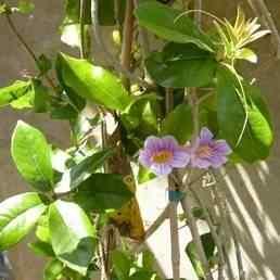 Buy purple painted flowering vine purple painted flowering vines purple painted flowering vine mightylinksfo