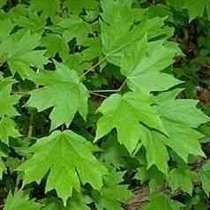 Buy Florida Maple Tree From Ty Ty Nursery