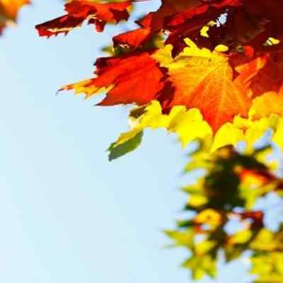 Buy Sugar Maple Tree From Ty Ty Nursery