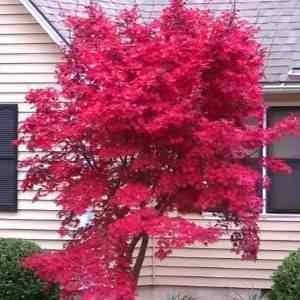 d78ae863f28 Buy Japanese Red Leaf Maple Tree from Ty Ty Nursery