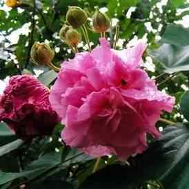 Buy Confederate Rose Shrub From Ty Ty Nursery