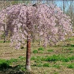 Pink Snow Showers TM Weeping Flowering Cherry Tree
